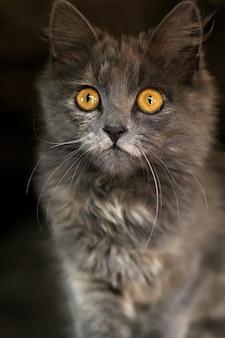 Gatinho cinzento com olhos penetrantes olhando.