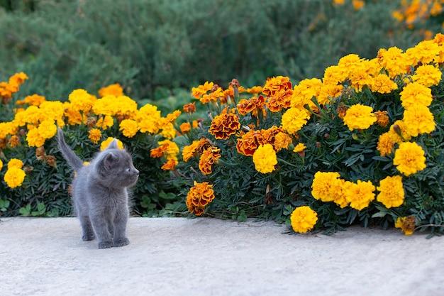 Gatinho cinzento de um mês de idade no jardim. gato e grama verde e flores de calêndula.