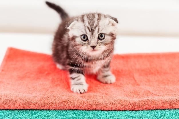 Gatinho curioso. vista superior do curioso gatinho scottish fold sentado no topo da pilha de toalhas coloridas