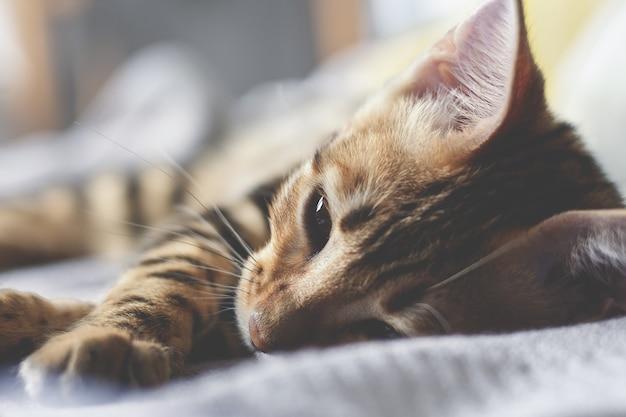 Gatinho de bengal que dorme na cama. fechar-se.