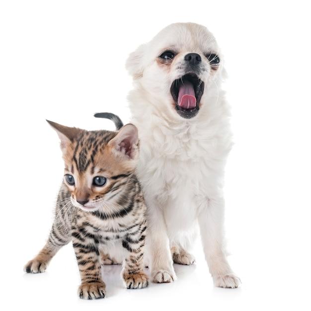 Gatinho de bengala e cachorro chihuahua
