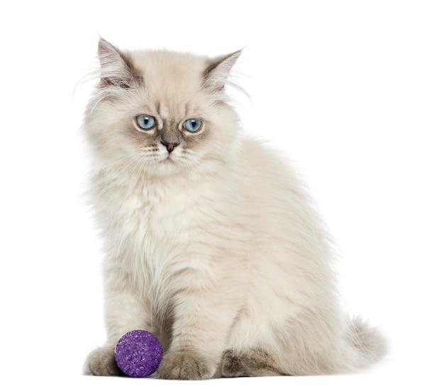 Gatinho de cabelos compridos britânico, sentado com uma bola