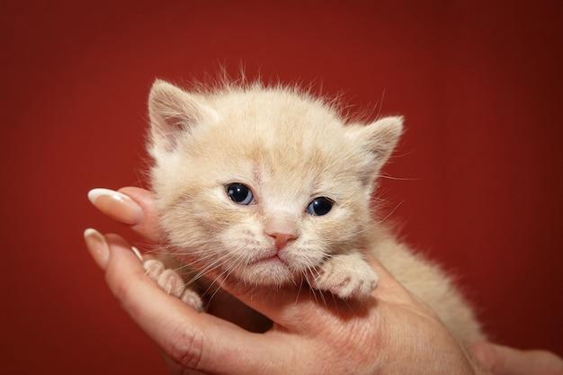 Gatinho de chocolate em casa. gato jovem brincalhão.