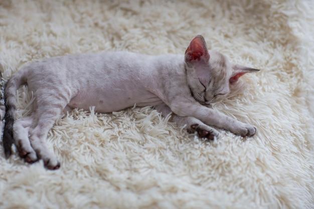 Gatinho devon rex dormindo em um cobertor
