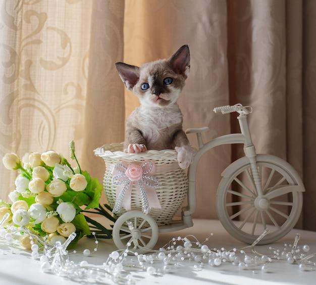 Gatinho devon rex senta-se em uma bicicleta decorativa
