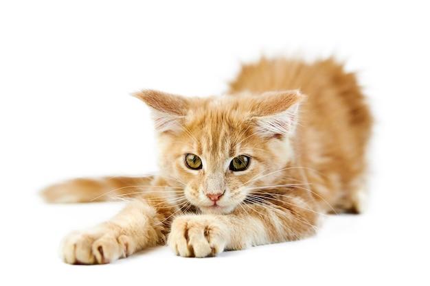 Gatinho do maine coon, isolado. gato bonito maine-coon. gatinho engraçado de raça pura, cor creme bege