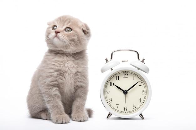 Gatinho e despertador em uma parede branca. animais e despertador. manhã.