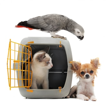 Gatinho em pet transportadora, papagaio e chihuahua