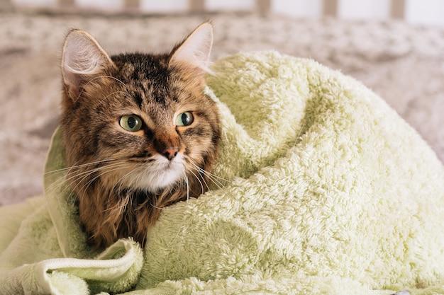 Gatinho engraçado molhado marrom tabby fofo após o banho enrolado em uma toalha verde