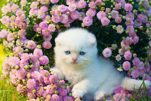 Gatinho escocês branco fofinho sentado nas flores