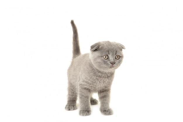 Gatinho escocês cinzento isolado em um fundo branco, cortado