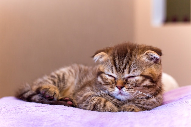 Gatinho escocês dormindo em um travesseiro rosa em casa