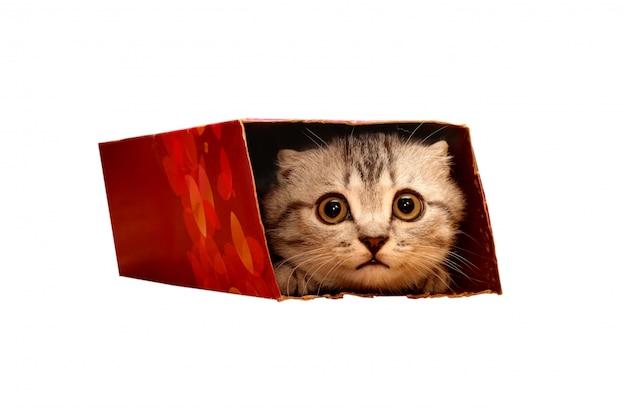 Gatinho escocês que espreita na caixa.