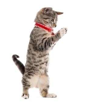 Gatinho europeu de pêlo curto brincando com as patas isoladas no branco