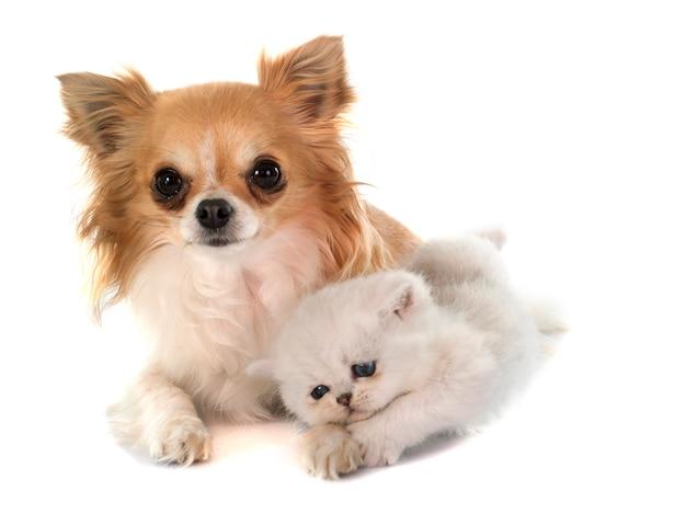 Gatinho exótico shorthair e chihuahua
