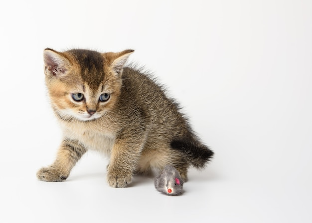 Gatinho fofo chinchila dourada escocesa de raça reta, gato brincando no fundo branco