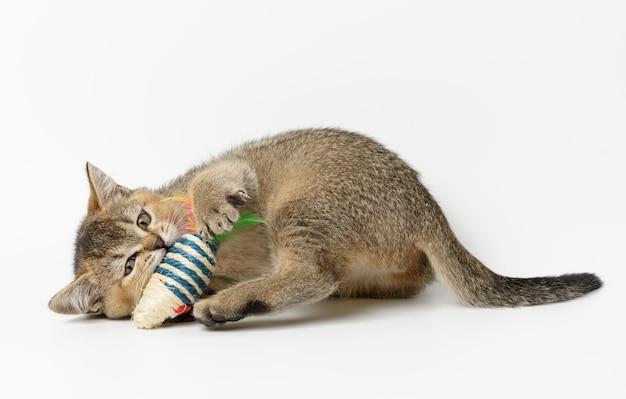 Gatinho fofo chinchila dourada escocesa, raça reta, gato brincando com um brinquedo no fundo branco