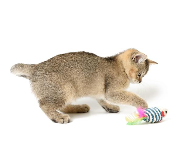 Gatinho fofo chinchila dourada escocesa, raça reta, gato brincando no fundo branco, close-up