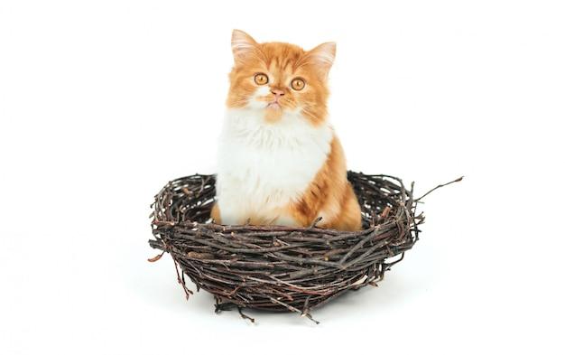 Gatinho fofo de gengibre senta-se em um ninho de galhos em um fundo branco