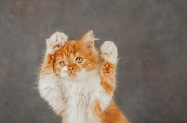 Gatinho fofo de gengibre sobre um fundo cinza escuro. gatinho engraçado levantou as patas.
