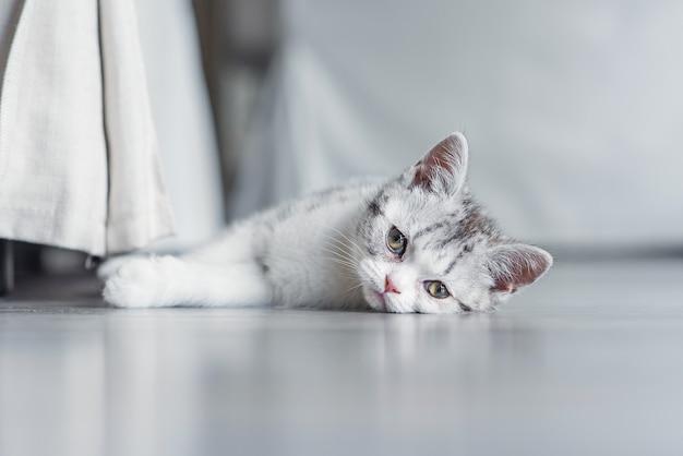Gatinho fofo e cinza sentado no chão dentro de casa perto de uma cadeira
