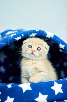 Gatinho fofo e ruivo na casa do gato azul
