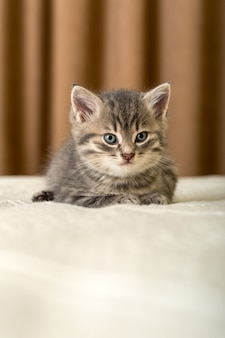 Gatinho fofo encontra-se na manta branca em casa. gatinho recém-nascido, gato bebê, conceito de animal e gato de criança. animal doméstico. animal de estimação doméstico. gato caseiro aconchegante, gatinho.