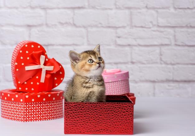 Gatinho fofo, raça reta chinchila dourada escocesa fica em um fundo branco e caixas com presentes, fundo festivo