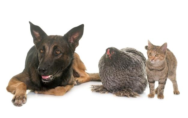 Gatinho, frango e malinois