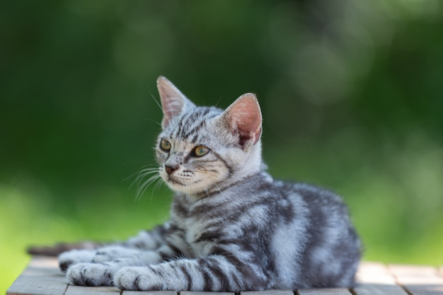 Gatinho gato fofo americano de pelo curto no jardim