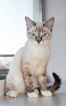 Gatinho leve sentado no parapeito da janela. gatos brancos sentados no parapeito da janela e olhando para uma janela com a luz da manhã, gato olhando pela janela em um dia ensolarado