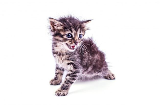 Gatinho listrado cinzento com olhos azuis. branco isolado