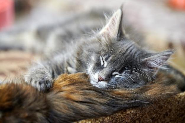 Gatinho maine coon dormindo