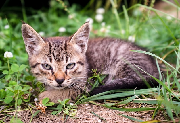 Gatinho malhado muito severo e sério se parece com um lince com orelhas grandes sentado na grama.