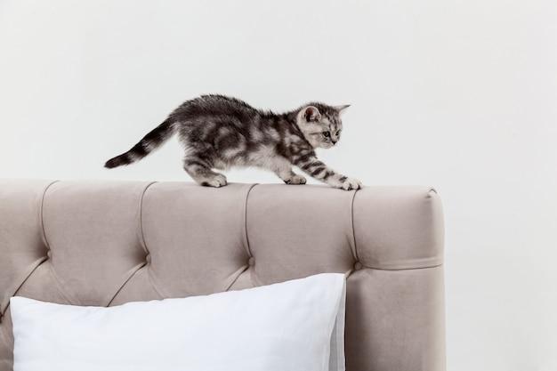 Gatinho malhado scottish fold andando na cabeceira da cama