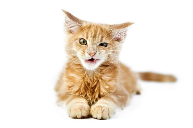 Gatinho miando maine coon, isolado. gato bonito maine-coon. gatinho engraçado de raça pura, cor creme bege