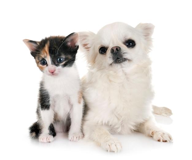 Gatinho moggy e chihuahua