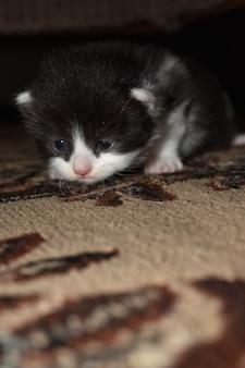 Gatinho peludo brincando no sofá