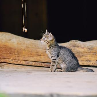 Gatinho pequeno bonito sentado na escada de madeira e olhando para as alianças de casamento.