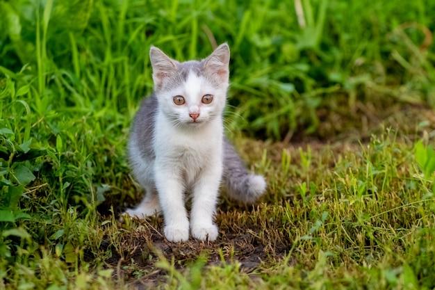 Gatinho pequeno com pintas brancas no jardim na grama cortada
