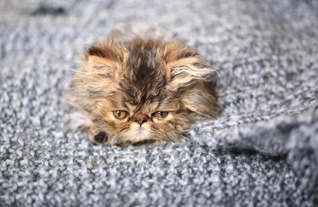 Gatinho persa bonito que encontra-se em um cobertor de malha