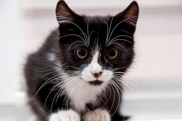 Gatinho preto e branco com uma cara engraçada e um grande bigode branco e sobrancelhas