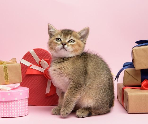 Gatinho, raça reta chinchila dourada escocesa fica em um fundo rosa e caixas com presentes, fundo festivo