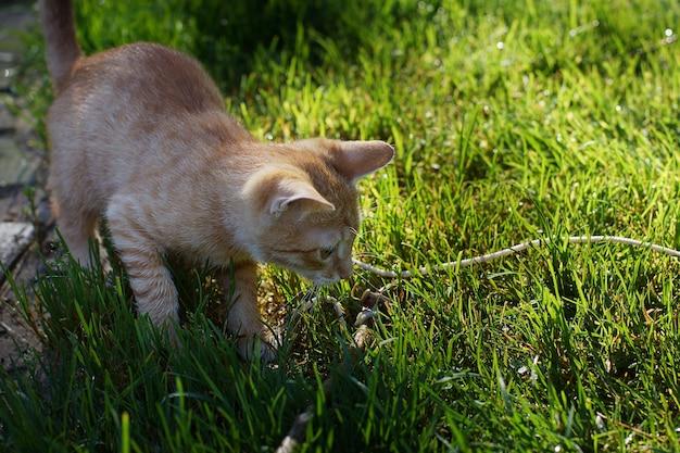 Gatinho ruivo brinca com uma corda no gramado.