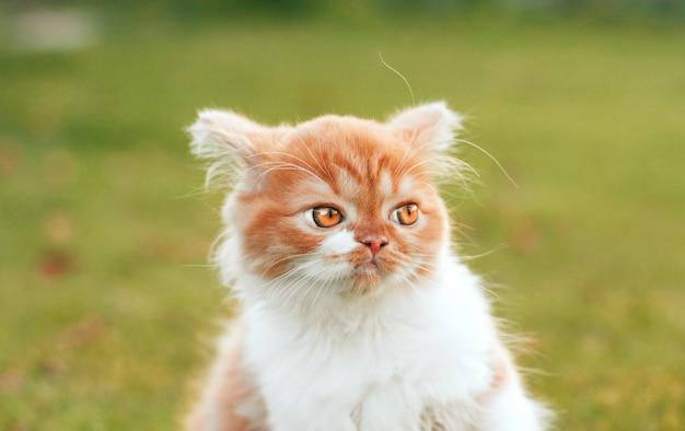 Gatinho ruivo com raiva parece longe
