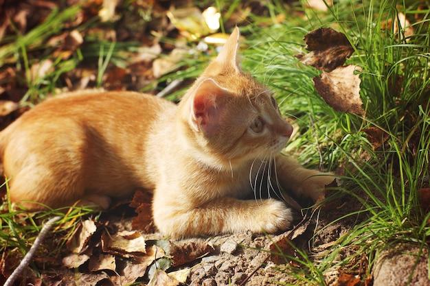 Gatinho ruivo encontra-se na grama com folhas caídas no outono.