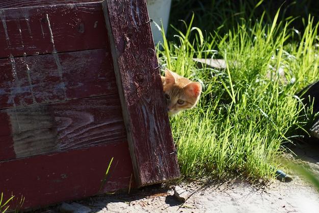 Gatinho ruivo espia por trás de um escudo de madeira.