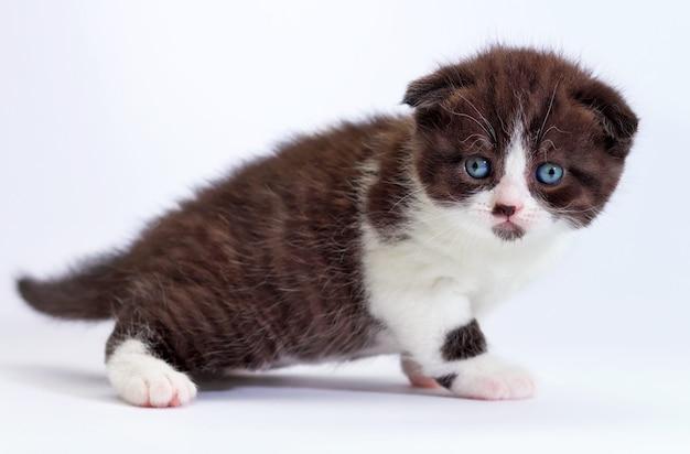 Gatinho scottish fold. gatinho em um fundo branco.