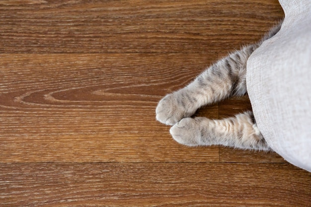 Gatinho se escondeu atrás da cortina. as patas dos gatos saem por baixo da cortina. copie o espaço, coloque para o texto. vista de cima.