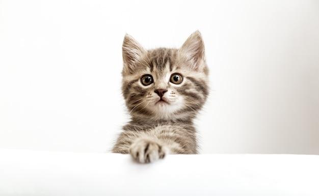 Gatinho surpreendeu o retrato principal com patas espreitando sobre o cartaz de sinal branco em branco. gato de bebê malhado no modelo de cartaz. gatinho de estimação curiosamente espreitando por trás do fundo da bandeira branca com espaço de cópia.